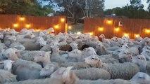 Des centaines de moutons envahissent le jardin d'une famille
