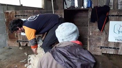 L'Equipe de France de tonte de mouton s'est entraînée au Dorat en Haute-Vienne