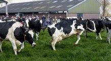 Koeien Melkveebedrijf van Leeuwen de wei weer in / Heenvliet 2019