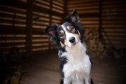 Top 10 des races de chiens les plus intelligents