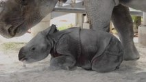 Le zoo de Miami a accueilli une naissance rare... Un bébé rhinocéros