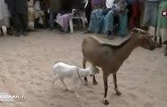 Une chèvre donne naissance à un mouton
