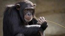 Los chimpancés también se enganchan a los móviles