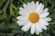 Les Experts Jardin:  Entretenir son anthémis