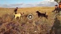 ANADOLU COBAN KOPEGi vs ANADOLU COBAN GUDUK - ANATOLiAN SHEPHERD  DOG vs ANATOLiAN SHEPHERD GUDUK DOG