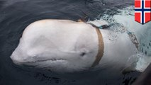 Russia may be training special ops whales
