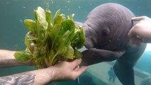 Un adorable bébé lamantin mange son premier repas