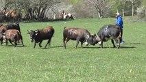 Combat de vaches Hérens lors de la mise en herbe