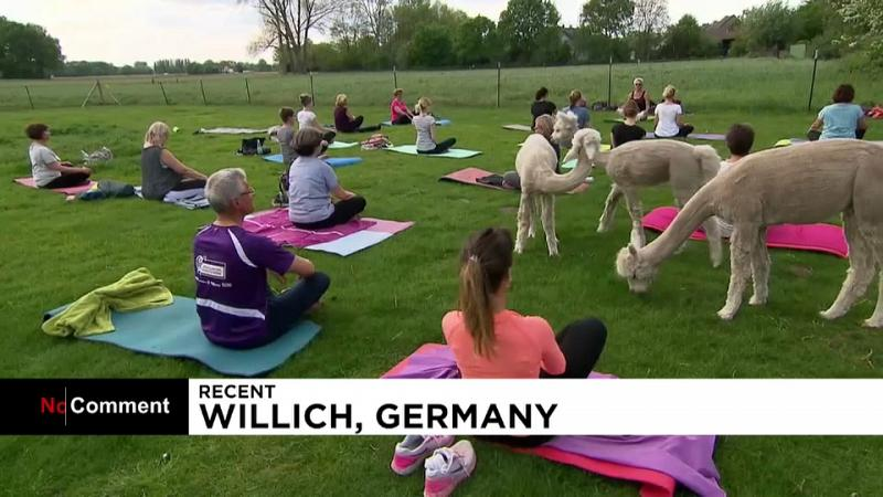 Germania, yoga tra gli alpaca