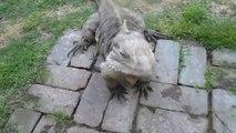 Ce gros lézard est mieux qu'un chien... Adorable