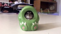 Chubby hamster wiggles into a ceramic dinosaur