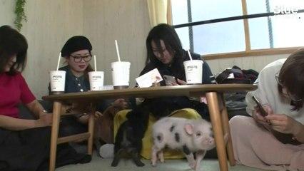 Boire un café tout en caressant un cochon, c'est désormais possible dans ce bar japonais