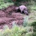 Un pauvre bébé rhinocéros tente de réveiller sa mère tuée pour sa corne