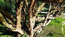 Rekordbaum / Champion Tree - Braut-Myrte - Myrtus communis