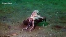 La méthode de camouflage de ce poulpe est incroyable... hop, dans la noix de coco