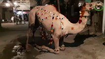 Camel for Qurbani Eid 2018 in Lahore - Samanabad - Camel Qurbani 2018 - Heavy Camels Qurbani