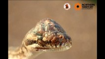 Hallan una serpiente con tres ojos en Australia