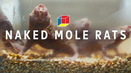 Can mole rats solve autism, epilepsy, and schizophrenia?