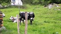 22 vaches vosgiennes se déplacent vers de plus verts pâturages à Saulxures-sur-Moselotte