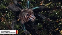 Behold The Newly Discovered Nightmare-Inducing Blue Tarantula