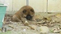 Chow Puppy Eats Dirt - Puppy Love