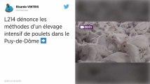 L214. Une nouvelle vidéo choc tournée dans un élevage de poulets du Puy-de-Dôme