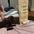 Ce chien est un champion de Jenga. Admirez ce talent !