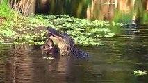 Un alligator dévore un lynx... et n'en fait qu'une bouchée
