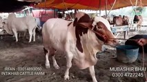 BEST COW MANDI 2018 TO BUY SAHIWAL BULL FROM PUNJAB
