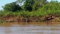 Un jaguar intrépide saute à l'eau pour attraper un crocodile