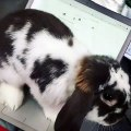 Quand une lapine veut aider sa maman à préparer les examens !