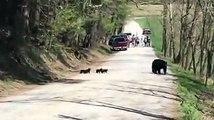 Une maman ours et ses 4 bébés aperçus en pleine route à Cades Cove