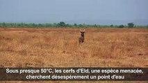 Crowdfunding pour sauver des cerfs de la sécheresse en Birmanie
