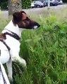 Ce sublime chien adore jouer dans l'herbe. Trop chou !