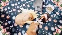 Ces petits cochons d'Indes mangent tous ensemble du maïs. Admirez !