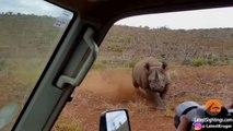 Un rhinocéros en colère charge une jeep de touristes