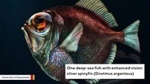 Scientists Find Deep-Sea Fish Can See Color In The Dark