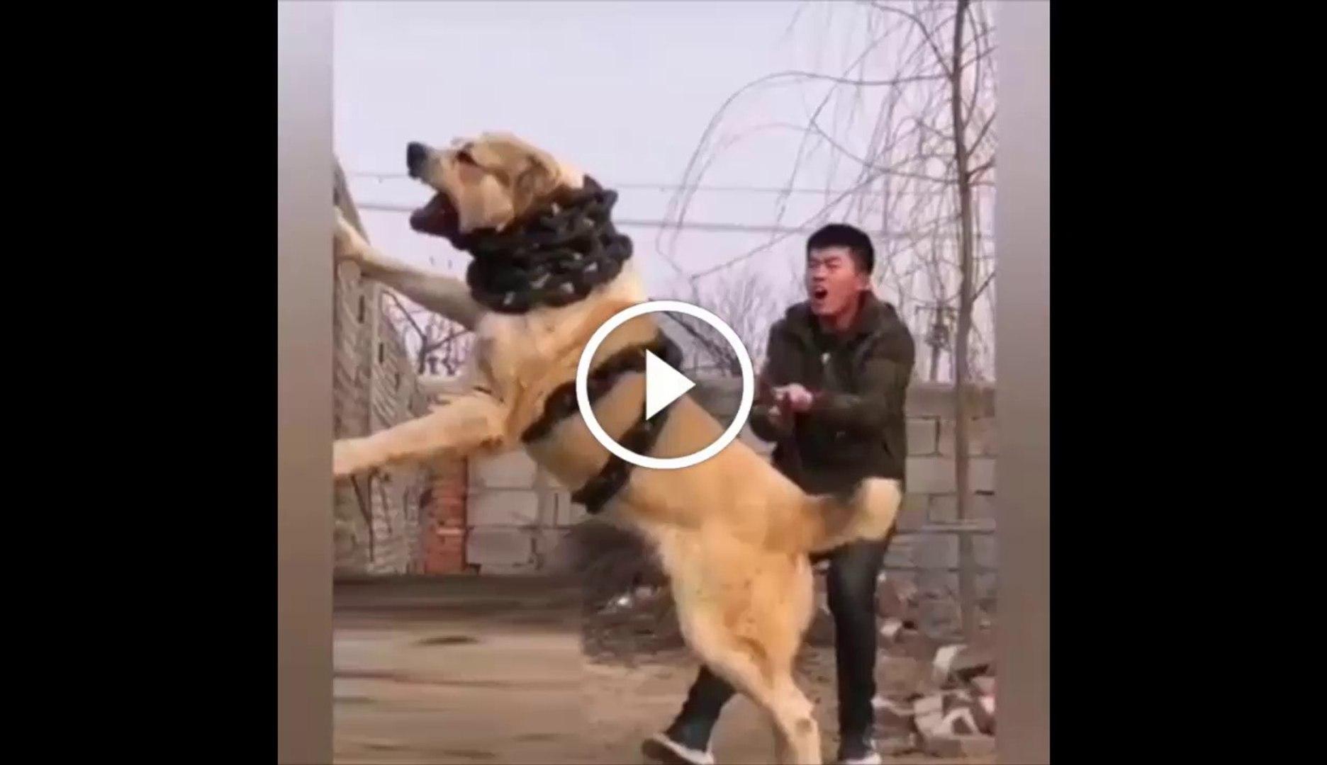 ZiNCiR KIRAN ALABAY KOPEGi - ALABAi SHEPHERD DOG VERY ANGRY