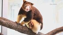 Un adorable bébé marsupial sort de la poche de sa mère pour la première fois