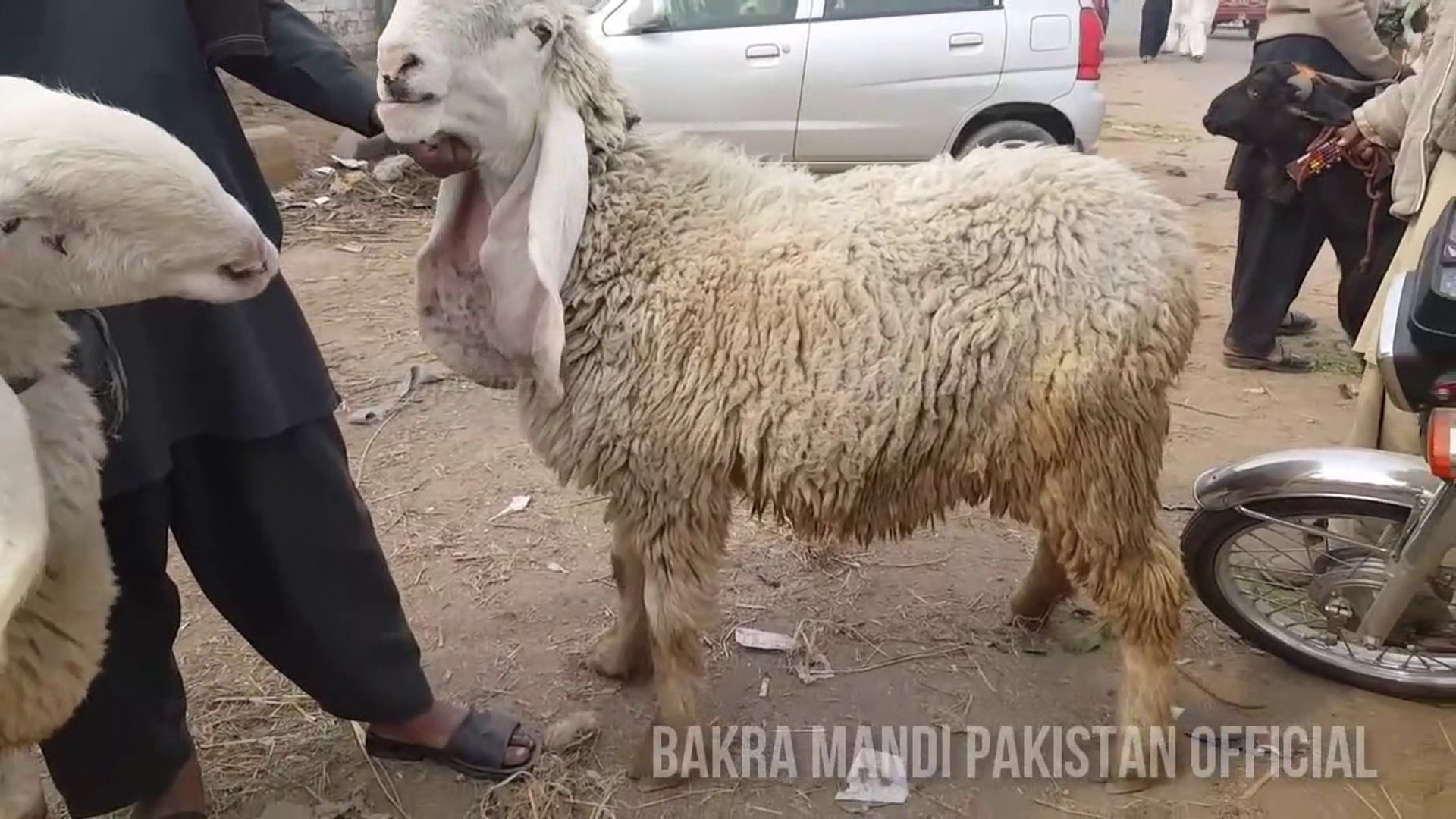 JUST APP K LIYE MUNDRAY - Kajla - Chatra aur Desi Bakra - 2017 - 2018 -  Bakraeid in Pakistan