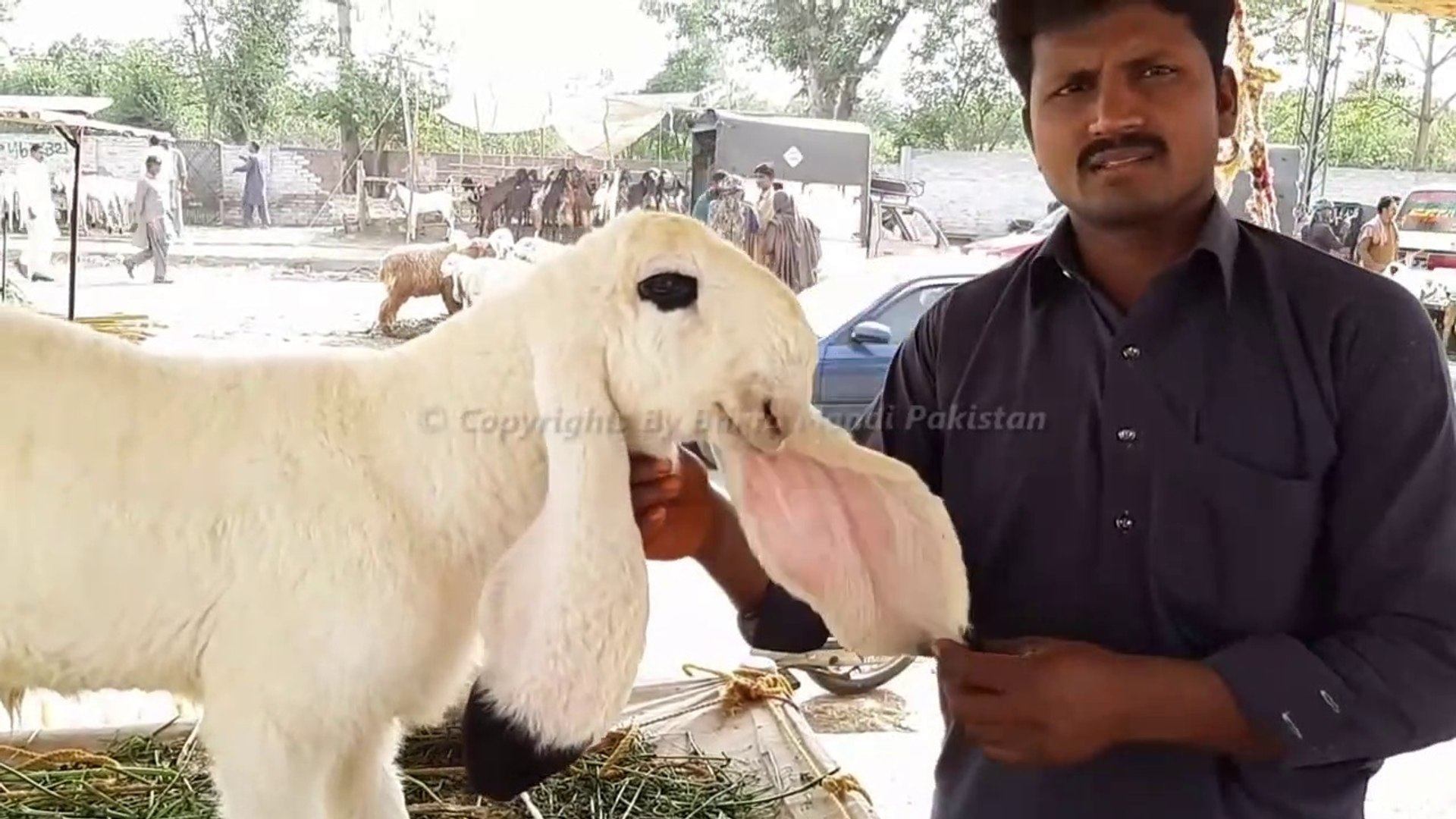 Kajla Chatra for Qurbani Eid 2018 - Lahore Bakra Mandi - Shahpur Kanjra  (Long Video 2018)