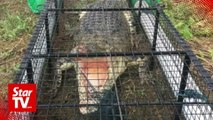 Killer croc caught in trap set up by Tawau wildlife officers
