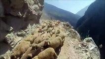 Un conducteur croise un troupeau de moutons sur une route de montagne vertigineuse... Terrifiant