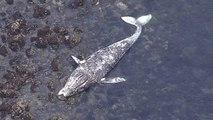 Californie : une dixième baleine grise retrouvée sans vie