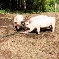 Ces mignons cochons s'amusent sous le soleil. Trop chou !