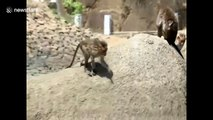Wild monkeys go for a swim to stay cool in the summer heat