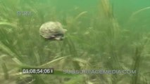 Voilà comment une coque fait pour nager... fruit de mer impressionnant