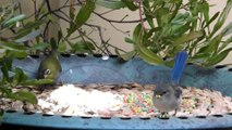 Blue Wrens, a Honey Eater and Silvereyes Birds Feeding in Our Back Yard