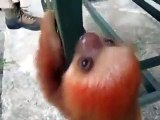 Little baby sloth will  make you smile - Cute baby sloth videos | Animal Videos - Nature is Amazing