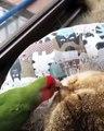 Cet oiseau aime beaucoup jouer dans l'oreille d'un chat. Marrant !